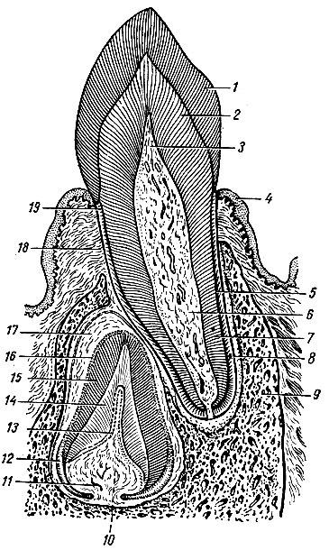 Рис. 87. Строение зубного органа (схема). 1, 15 - эмаль; 2, 14 - дентин; а, 20 - пульпарная полость и пульпа; 4 - эпителиальный слой десны; 5 - цемент; в - корневой канал; 7 - корень зуба; 8 - периодонт; 9 - стенка зубной лунки; 11 - кровеносные сосуды пульпы; 12, 16 - эмалевые клетки зачатка постоянного зуба; 13 - одонтобласты зачатка зуба; 17 - зубной мешочек; 18 - фиброзный слой десны; 19 - шейка молочного зуба
