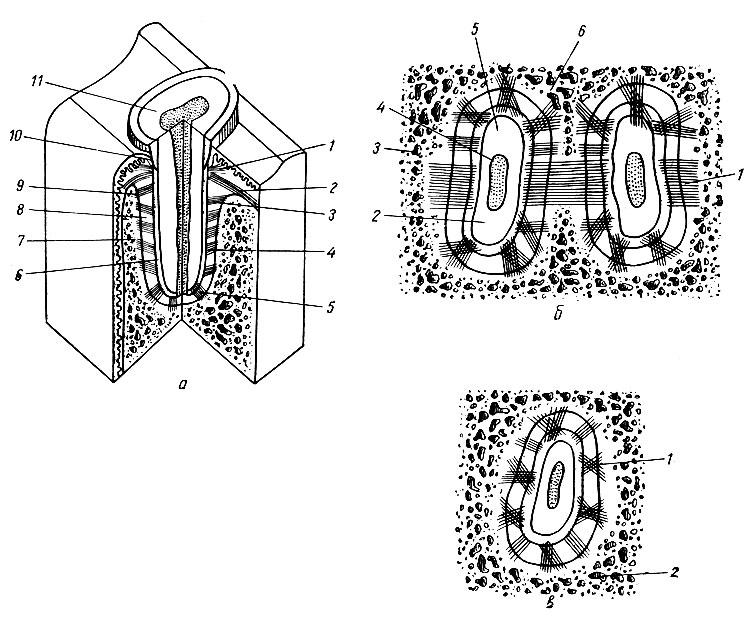 Рис. 88. Строение периодонта (схема по Е. И. Гаврилову). а - общая схема: 1 - зубо-десневые волокна; 2 - межзубные волокна; 3 - зубо-альвеолярные горизонтальные волокна; 4 - косые зубо-альвеолярные волокна; 5 - верхушечные волокна; 6 - цемент; 7 - стенка альвеолы; 8 - периодонт; 9 - зубо-периостальные волокна; 10 - десна; 11 - дентин. б, в - поперечные срезы на уровне пришеечной части корня (б) и средней трети корня (в). б: 1 - межзубная связка; 2, 5 - дентин; 3, б - межальвеолярная перегородка; 4 - корневой канал. в: 1 - косые зубо-альвеолярные волокна; 2 - стенка альвеолы