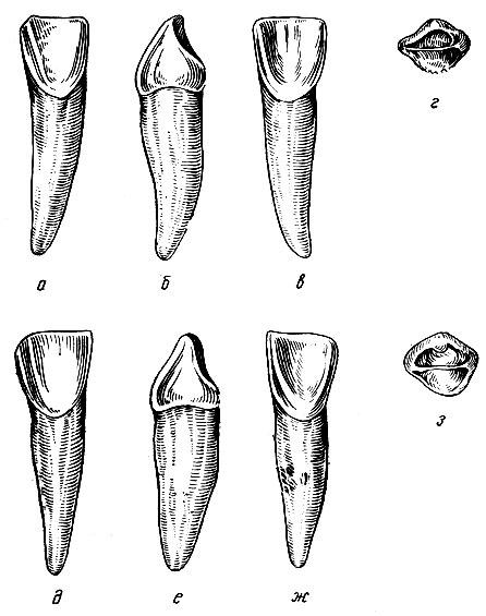 Рис. 108. Временные правые нижние резцы. а - вестибулярная поверхность первого правого нижнего резца; б - медиальная поверхность того же резца; в - язычная поверхность того же резца; г - режущая поверхность того же резца; д - вестибулярная поверхность второго правого нижнего резца; е - медиальная поверхность того же резца; ж - язычная поверхность того же резца; з - режущая поверхность того же резца