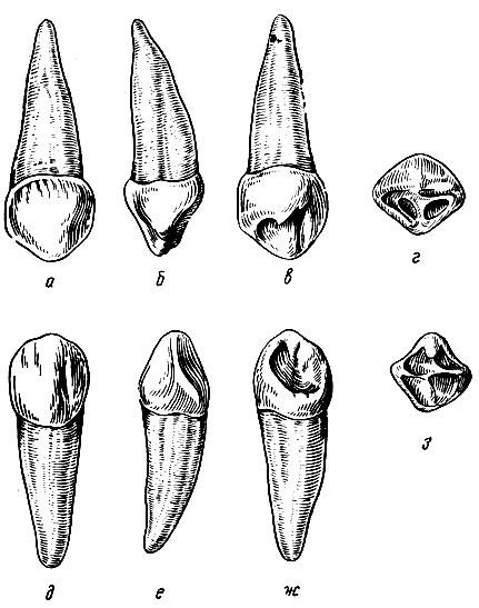 Рис. 109. Временные правые клыки. а - вестибулярная поверхность верхнего правого клыка; б - медиальная поверхность того же клыка; в - язычная поверхность того же клыка; д - вестибулярная поверхность нижнего правого клыка; е - медиальная поверхность того же клыка; ж - язычная поверхность того же клыка; з - режущая поверхность того же клыка