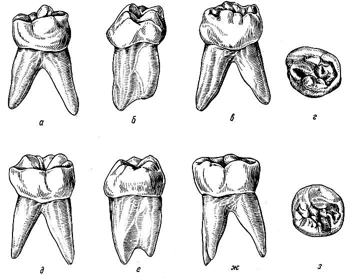 Рис. 111. Временные нижние правые большие коренные зубы. а - вестибулярная поверхность первого правого нижнего моляра; б - медиальная поверхность того же моляра; в - язычная поверхность того же моляра; г - жевательная поверхность того же моляра; д - вестибулярная поверхность второго нижнего моляра; е - медиальная поверхность того же моляра; ж - язычная поверхность того же моляра; з - жевательная поверхность того же моляра