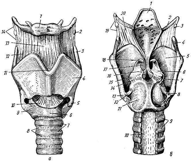 Хрящ Щитовидный фото