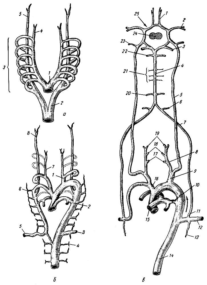 Перестройка дуг артерий у