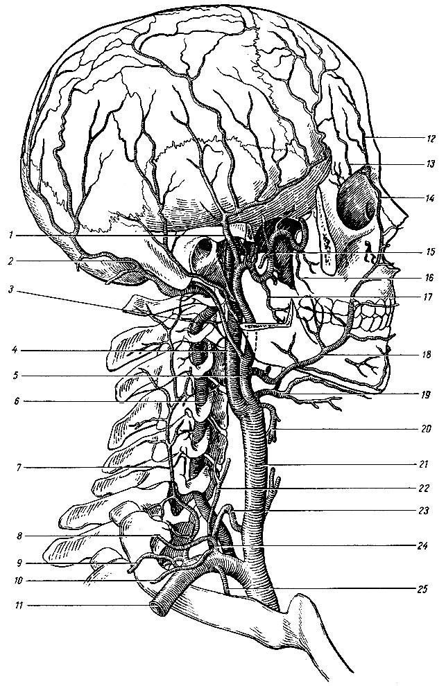 Подключичная артерия, общая