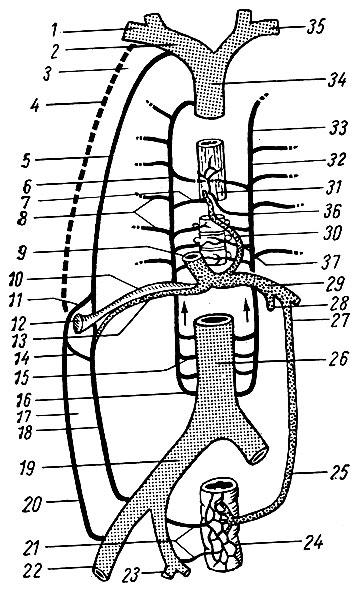 Анастомозы между верхней- и