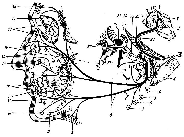 Схема строения лицевого нерва.