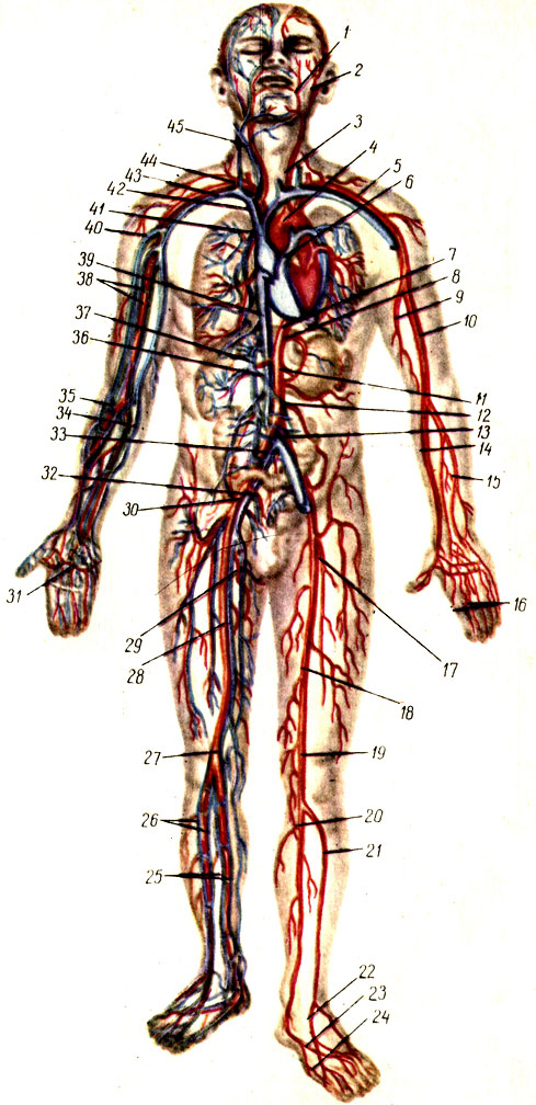 Кровеносная система (общая