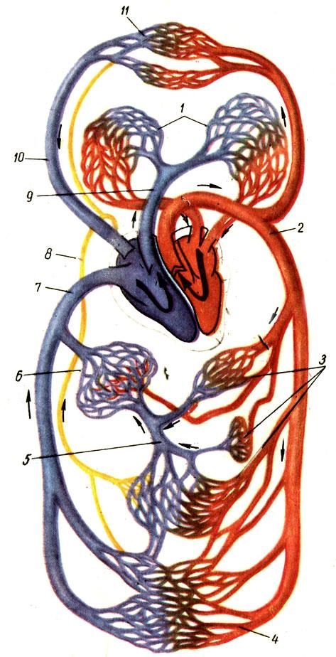 Схема кровообращения и тока