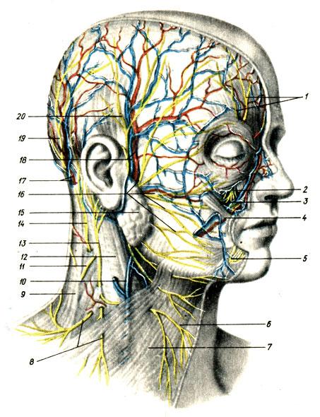 Нервы и сосуды головы и шеи.