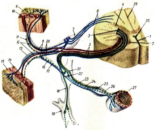 Рефлекторная дуга (схема)