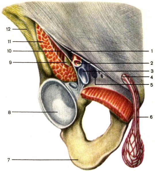 лимфатический узел паховая область влагалище