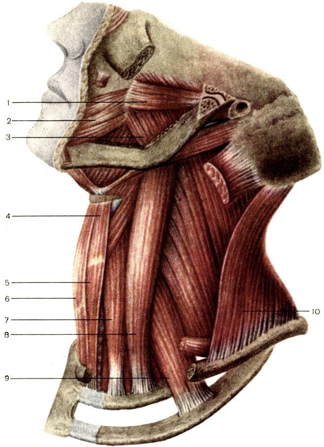 Мышца щечная фото