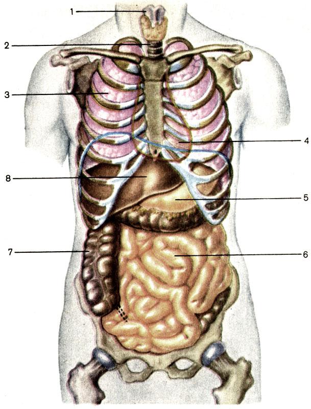Внутренние органы; общий вид.