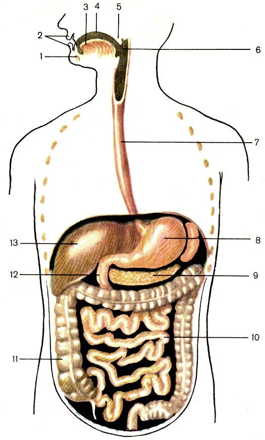 Схема пищеварительного тракта.