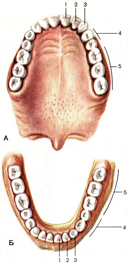 и нижняя (Б) зубные дуги.