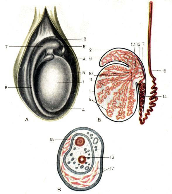 Семенные канатики