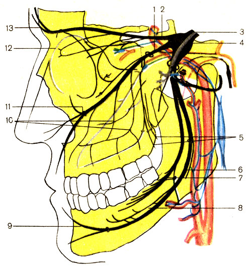 1 - верхнечелюстной нерв (