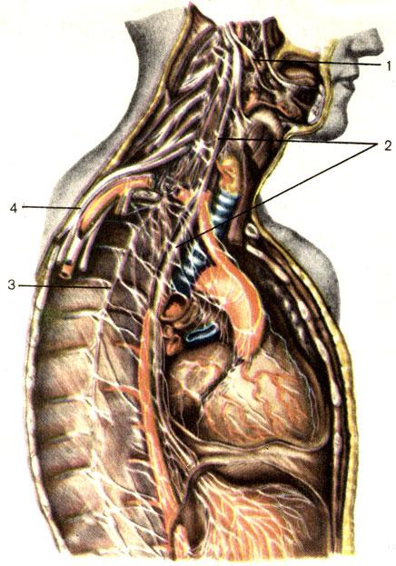 Иннервация органов головы, шеи