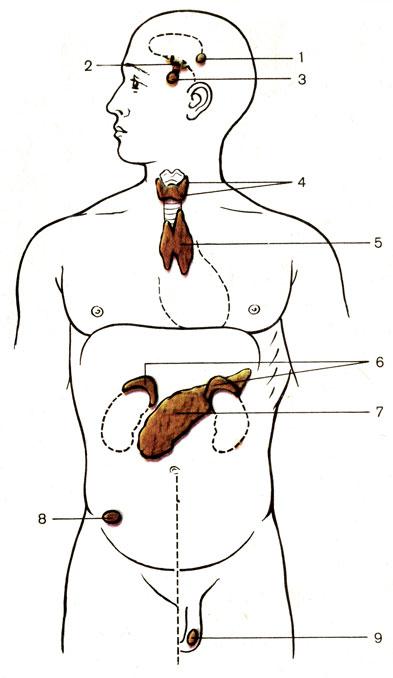 Схема расположения желез