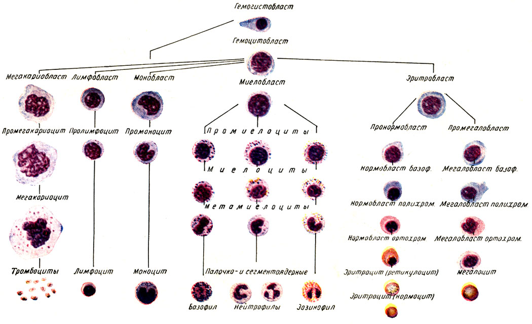 Определение лейкоцитарной формулы