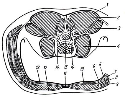 Схема мышечных и фасциальных