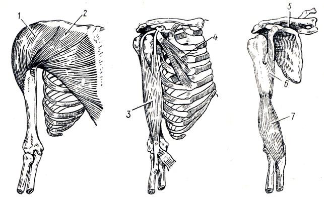 Рис. 82. Мышцы груди и плеча.