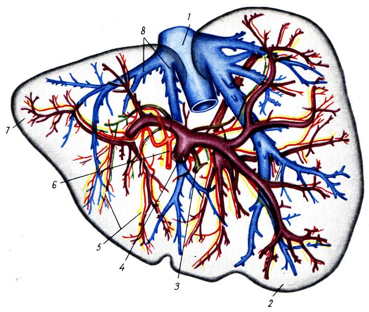 Трубчатые системы печени (по