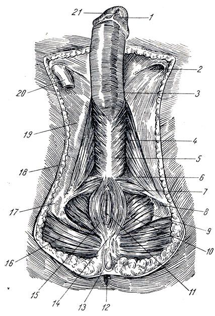 как выглядит вагина и пенис в слиянии фото