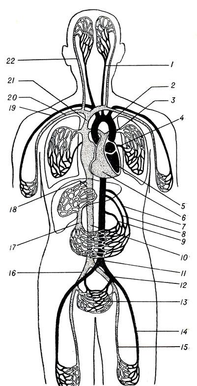Схема кровообращения (из Кишш