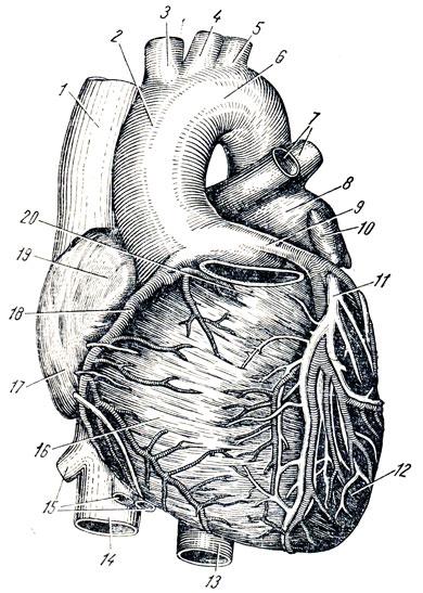 Передняя поверхность сердца.