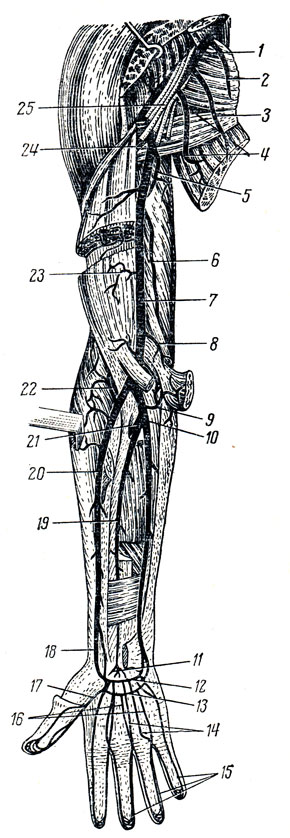 Артерии правой верхней