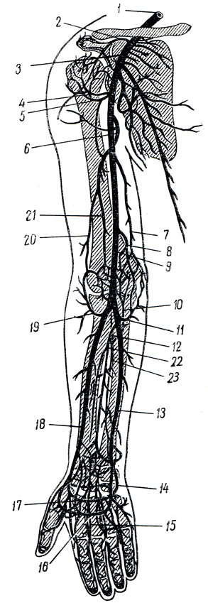 верхней конечности (схема)