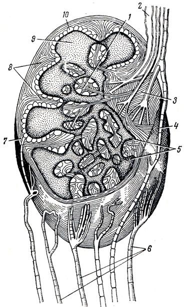 Лимфатический узел (схема)