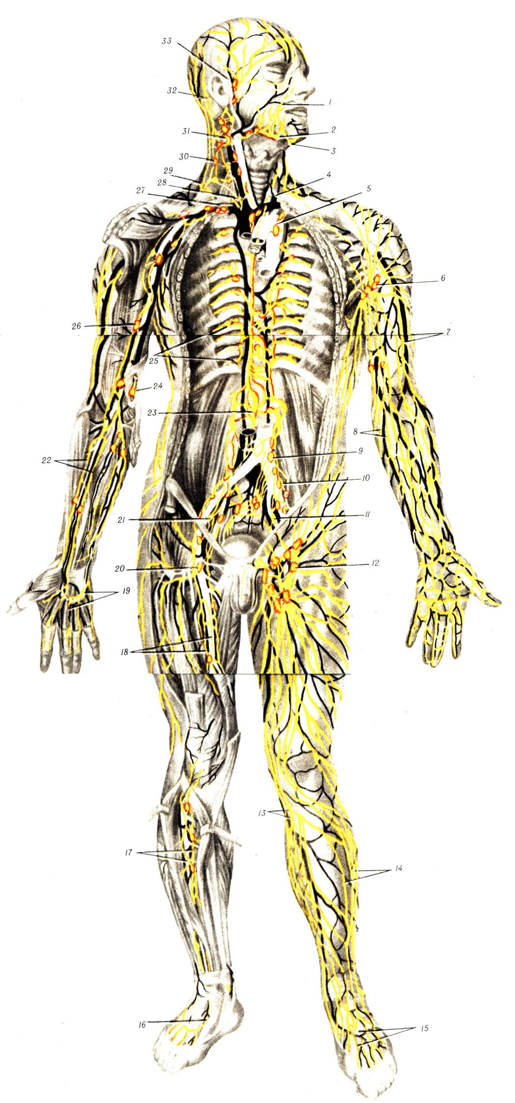 Система Лимфатическая