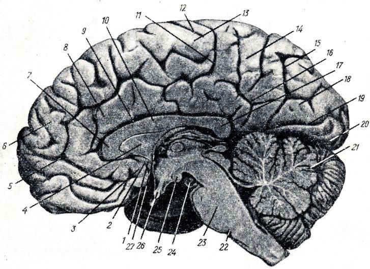 Часть Мозжечка Старая фото