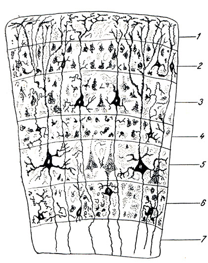 Схема строения коры головного