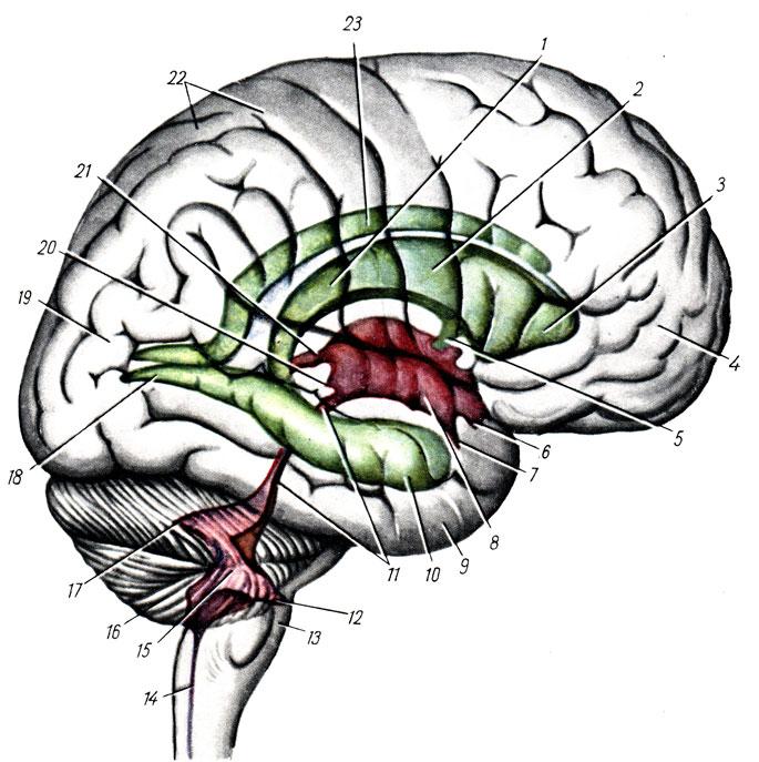 мозжечка, мозговым стволом