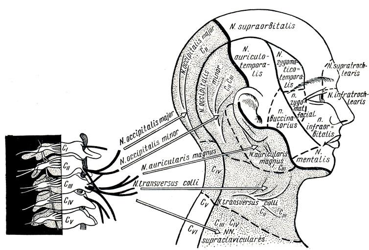 Схема иннервации головы и шеи