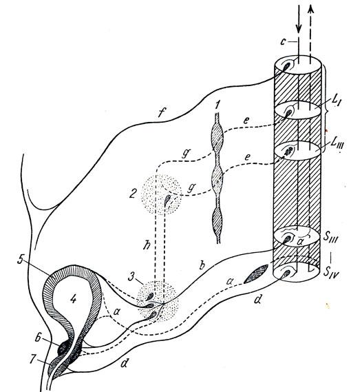 Схема иннервации мочевого