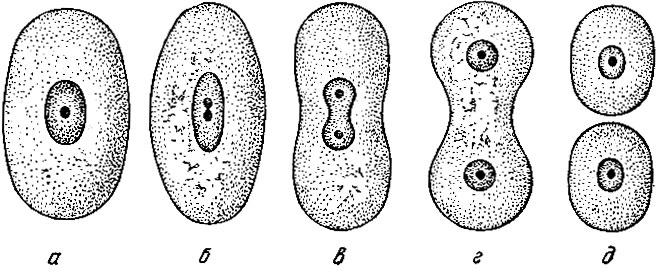 Схема прямого деления клетки.