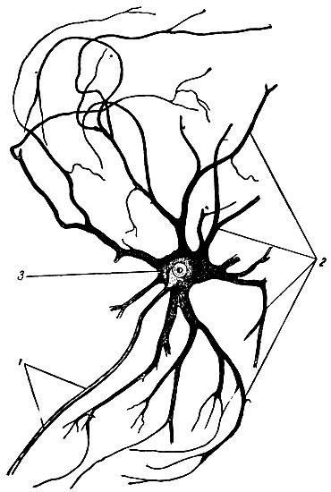 Мультиполярная нервная клетка.