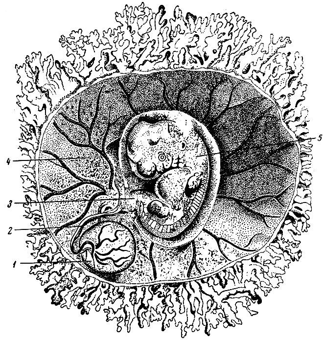 Пузырек Зародышевый
