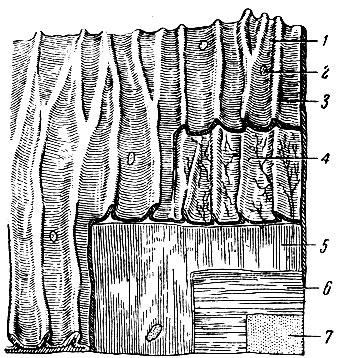 Строение стенки тонкой кишки.