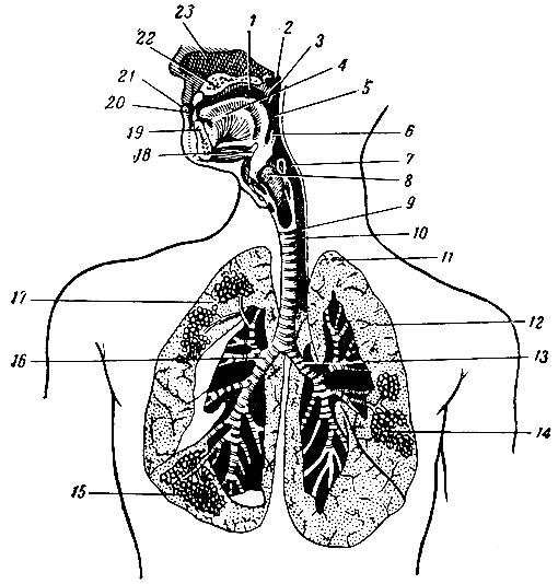 Схема строения дыхательной