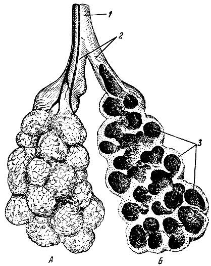 Схема ацинуса.