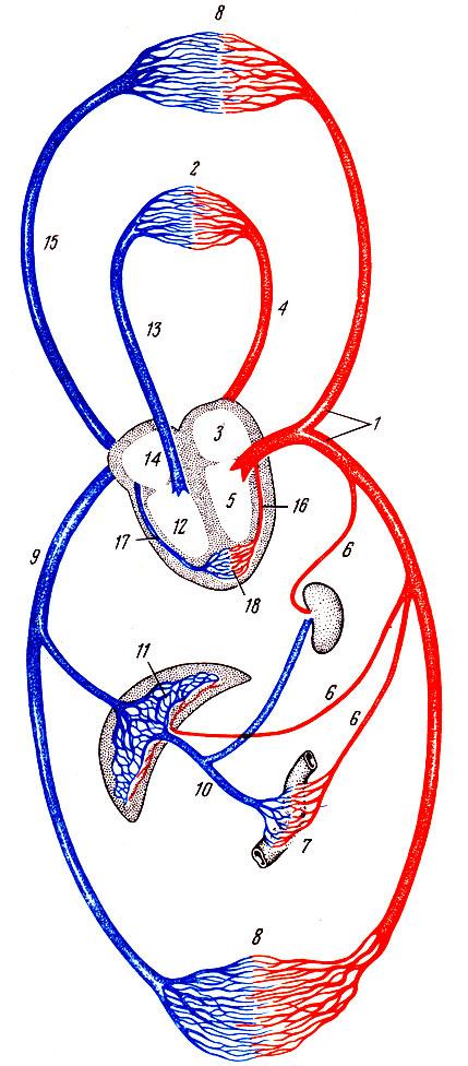 кровообращения (схема).