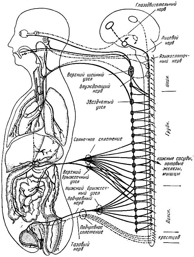 Схема вегетативной иннервации