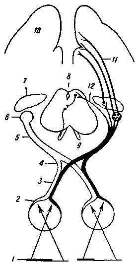 Схема зрительных проводящих