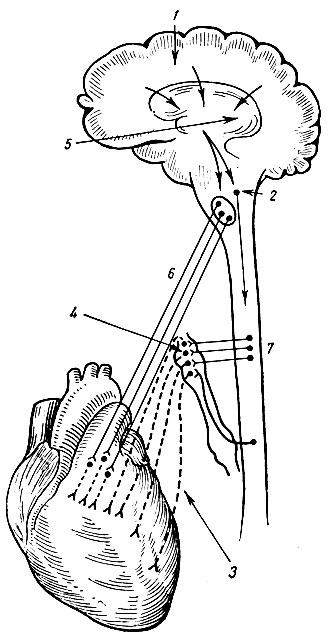 Схема иннервации сердца.