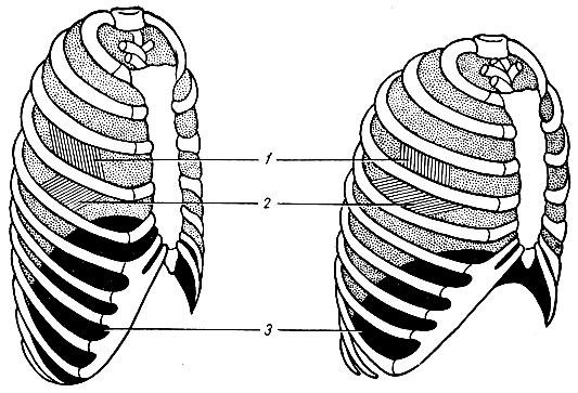 Схема положения грудной клетки